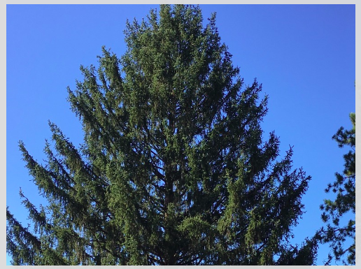 ap it will soon look a lot like christmas in new york city thanks to a tree from pennsylvania